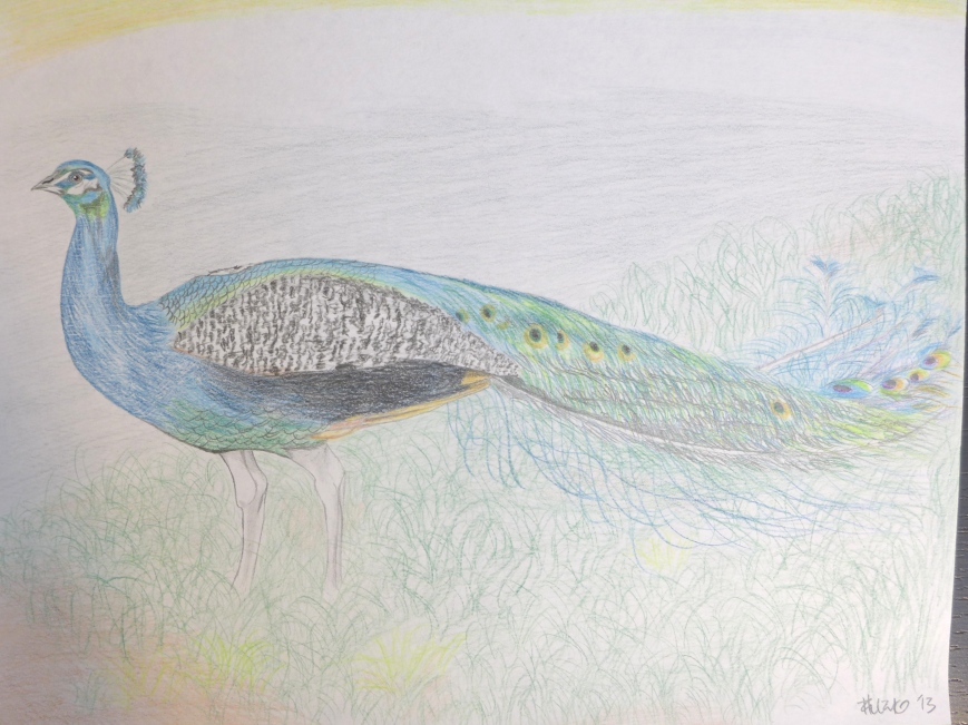 Calm peacock
