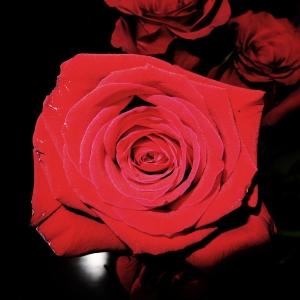 obnoxious rose