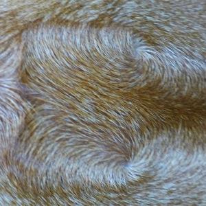 Rhodesian Ridgeback fur